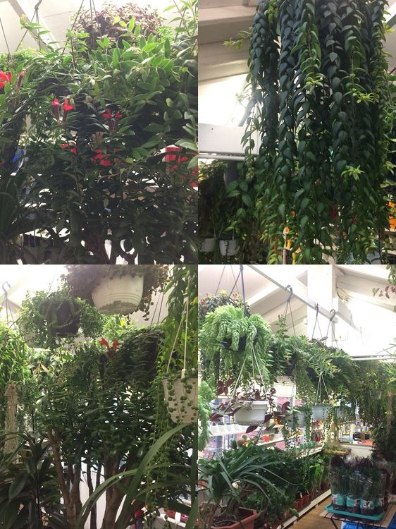 DULWICH POT AND PLANT GARDEN. Hanging Indoor Plants